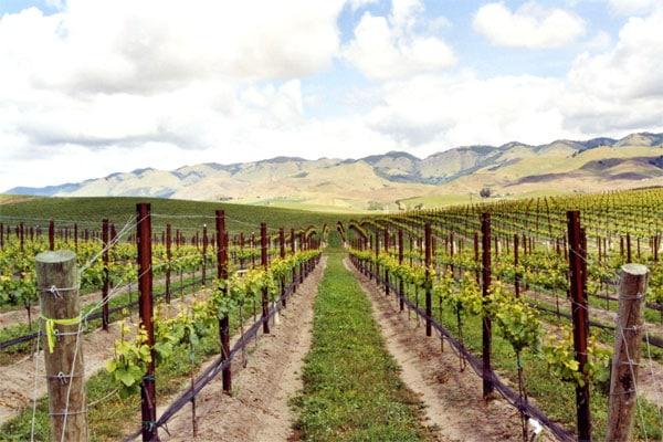 vineyard-600x400